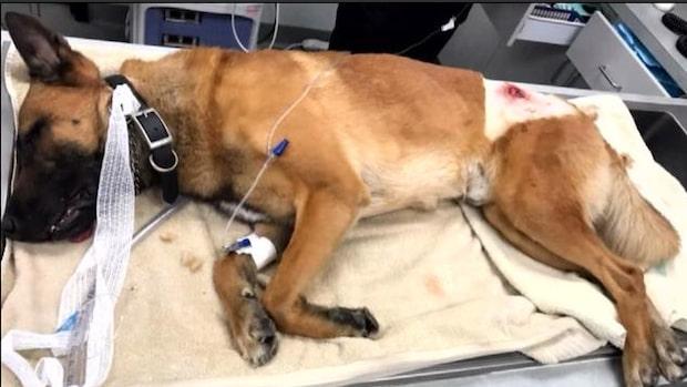 Polishunden Caspers hjälteinsats – tog kula för sin hundförare