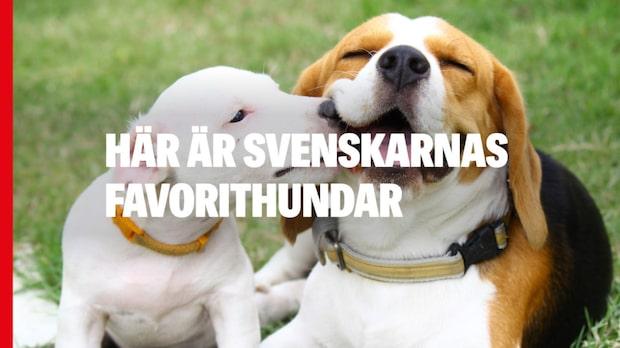 Sveriges populäraste hundar