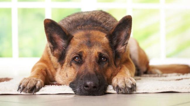Attackerad av hund i hemmet