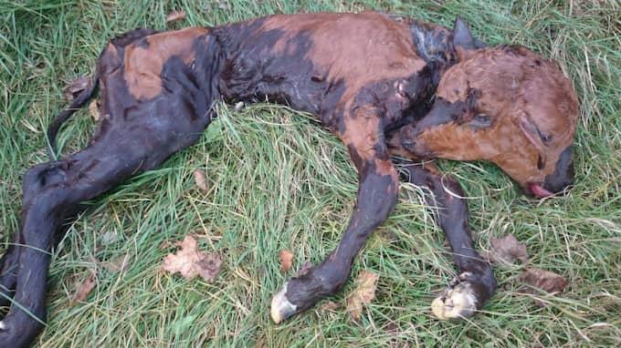 Det är inte så ovanligt att djur föds med extra kroppsdelar. 2014 föddes en kalv med två huvuden på en gård i Halland. Foto: Privat
