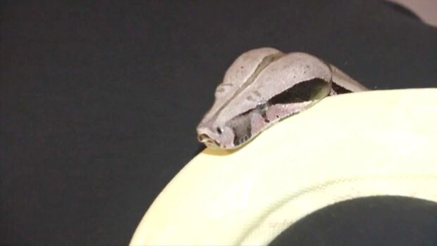 Inget för ormrädda - Serpentessa erbjuder ormmassage