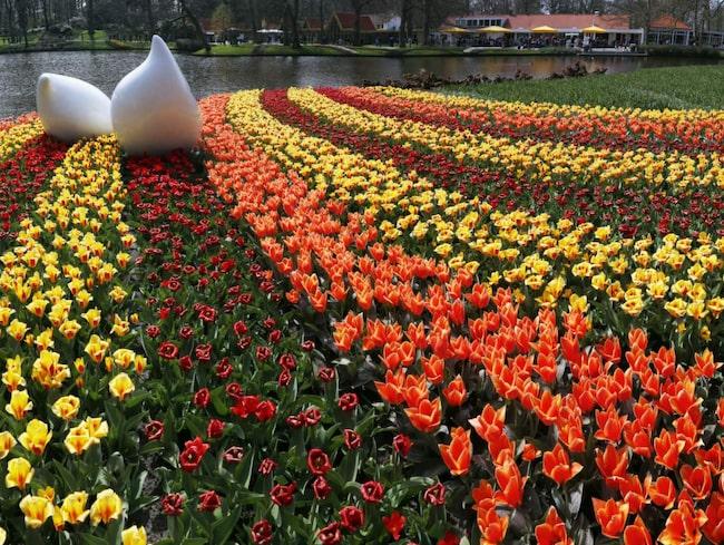 Frågan är om det i hela Europa finns något vårtecken som är mer spektakulärt än Hollands tulpanfestival?