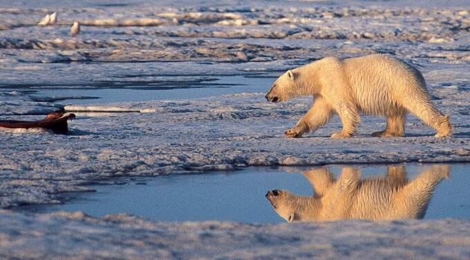 UTE UR BILDEN. Det har blivit allt mindre fokus på klimathotet och då har även det mediala intresset för isbjörnanas öde minskat. Foto: SUBHANKAR BANERJEE/AP