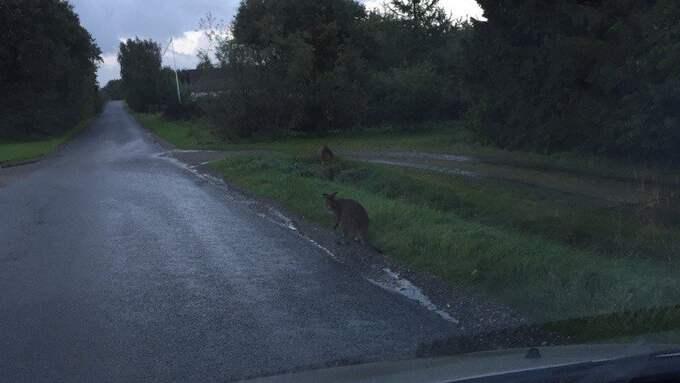 Danska polisen söker efter ägaren till en liten kängurun, eller vallaby, som det troligen rör sig om. Foto: Danska polisen