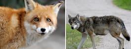 Varg skjuten i Skåne – misstogs för räv