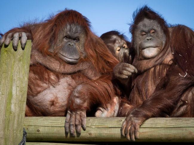 <span>Den 19 augusti ärdet nämligen orangutangernas dag!</span>