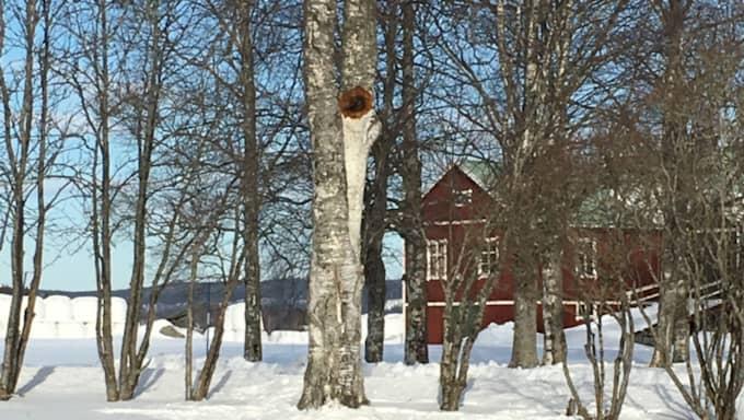 Det hela visade sig vara tjuvar på jakt efter den sällsynta svampen Sprängticka som växer på björkar. Foto: Privat