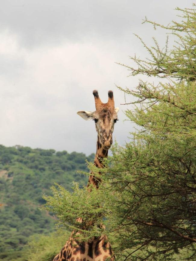 Vi är ute på ett sex dagars safari i fyra nationalparker och naturreservat i Tanzania.