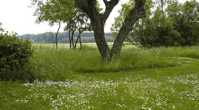 PATINERAD. En äldre gräsmatta med många blommande små växter uppskattas av många. Tusenskönorna är svåra att bli av med - dem får man lära sig att gilla.