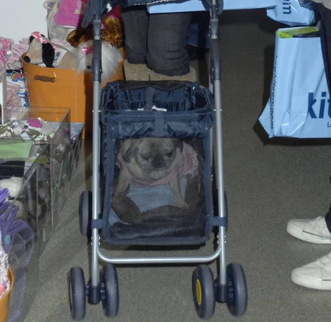 Trött i tassarna? Vagnar för hundar finns nu i många varianter. Foto: Martin Grimes