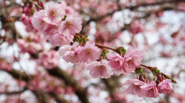 Njut av underbara körsbärsblommor!
