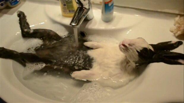 Här är kaninen som älskar att bada