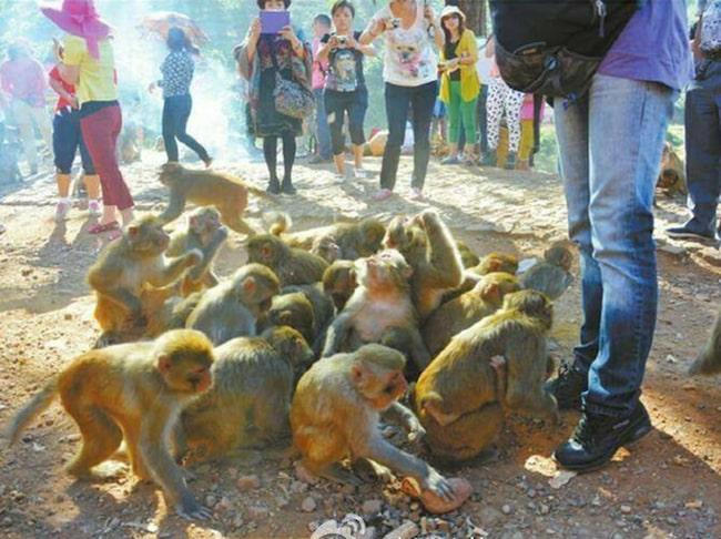 Makakerna lockades till byn för att dra dit turister.