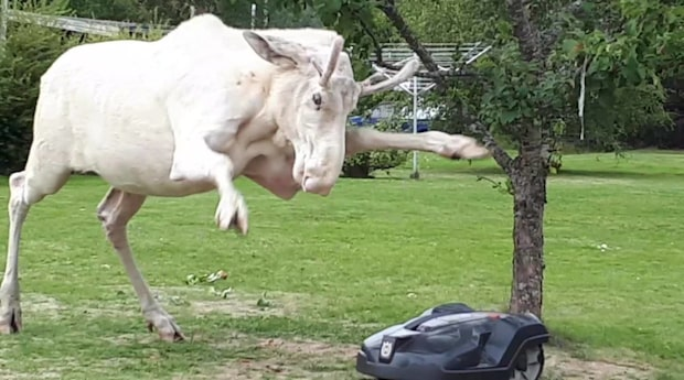 Duellen mellan den vita älgen och gräsklipparen