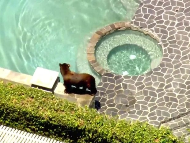 Björnens vågade lösning i värmen
