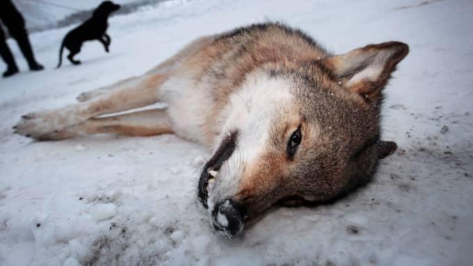 Det pågår ett krig mot våra vargar och annat vilt i våra skogar, skriver debattörerna. Foto: HENRIK HANSSON