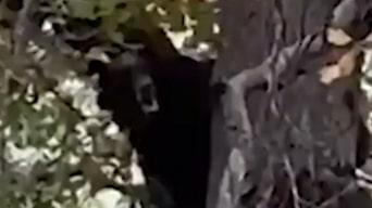 Här börjar björnen sjunga uppe i trädet