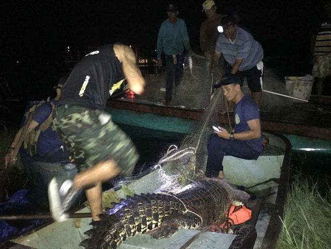 Natten till fredagen fångades den in i ett träsk nära stranden Lae Pang på Phuket.