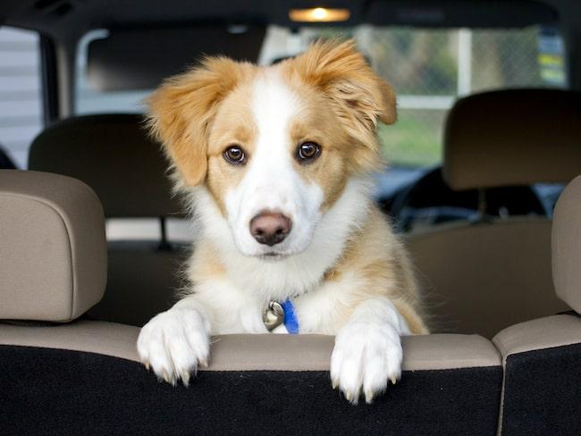 Enligt ett lagförslag i Australien kan man dömas till tre års fängelse om man lämnar hunden i en varm bil.