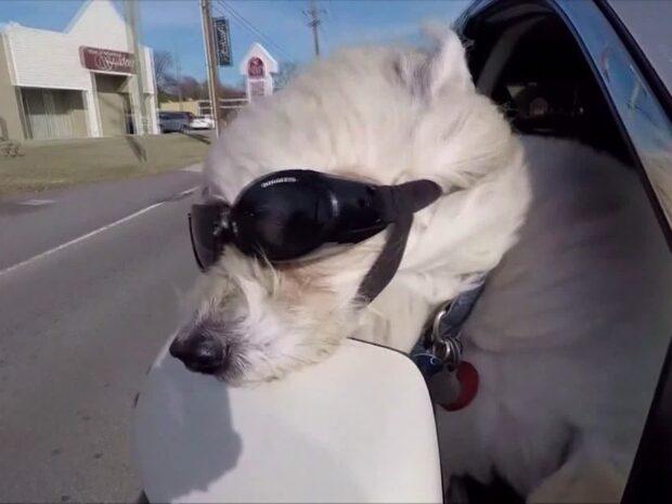 Glasögonprydda hunden Lucy älskar att åka fort