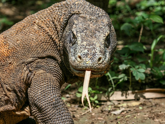 Komodovaranen är världens största ödla.