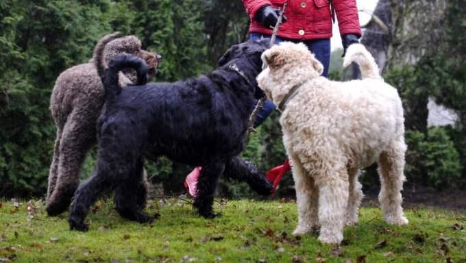 Från och med den 1 mars fram till den 20 augusti är det förbjudet att låta hundar springa fritt i skog och mark. Foto: Christer Wahlgren