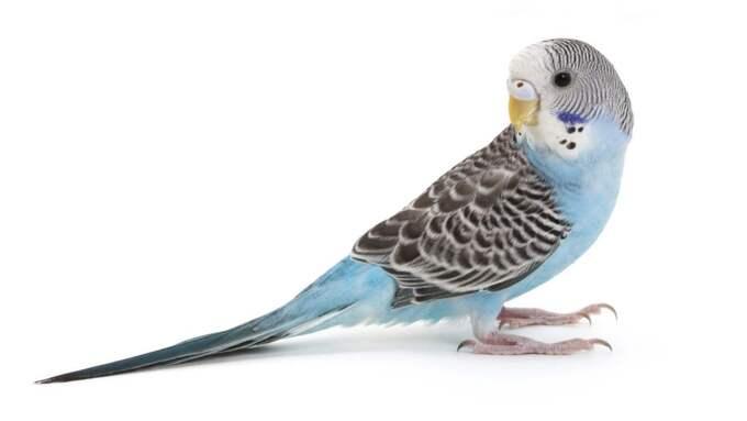 Fågel - kan bli gammal Hur sociala fåglar är varierar mycket beroende på art. Generellt är fåglar relativt krävande sällskapsdjur som väsnas och skräpar ner en hel del. En undulat vill ha minst en kompis att bo med i en bur som ska vara så stor att den går att flyga i. En papegoja behöver också sällskap av antingen dig eller en annan papegoja, mycket stimulans och sysselsättning. En undulat blir i snitt 6 till 8 år medan det inte är ovanligt att en papegoja blir 50 år. Passar för: Dig som vill engagera dig mycket i ditt djur. Foto: Feng Yu