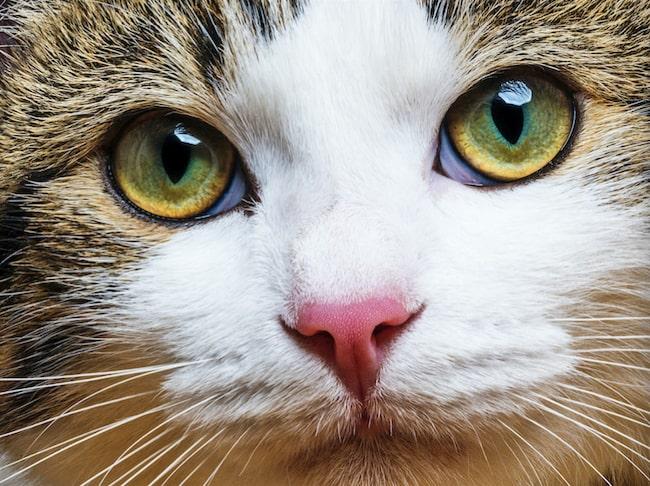 Svårt att veta hur din katt tänker? Det går att tolka vissa beteenden.