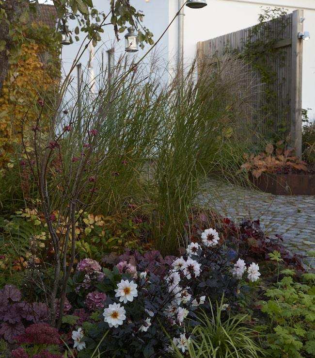 Här blommar det långt in på hösten. Alunrotens purpurfärgade blad går ton i ton med klasar av blommande hortensia.