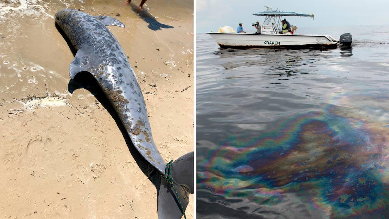 Hundratals delfiner dör vid USA:s golfkust