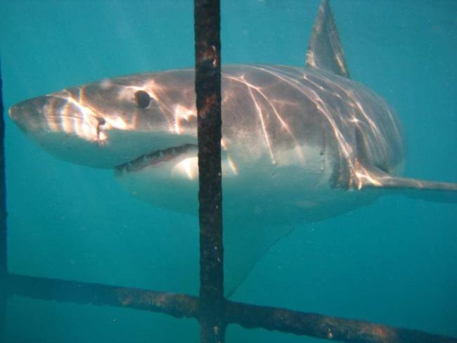 Rejält skrämmande men också fascinerande - att tillsammans med några andra bli nedsänkt i en hajbur och möta de fruktade vithajarna på nära håll.