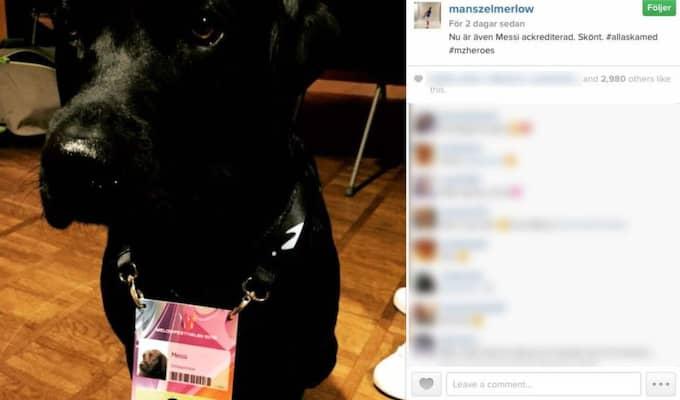 """Det är Zelmerlöws jaktlabrador Messi, här ackrediterad som """"schlagerhund"""", som behöver sällskap när Måns står på scenen. Foto: @manszelmerlow på Instagram"""