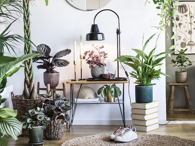"""Gröna växter är ett måste när man inreder. """"Man kan inte styla utan gröna växter"""", säger Maria Celin, inredare."""