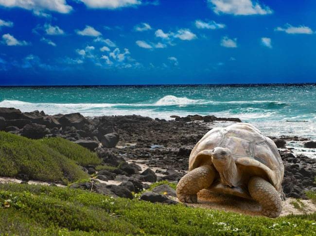 Uråldriga jättar. Galapagossköldpaddor på Isla Santa Cruz.