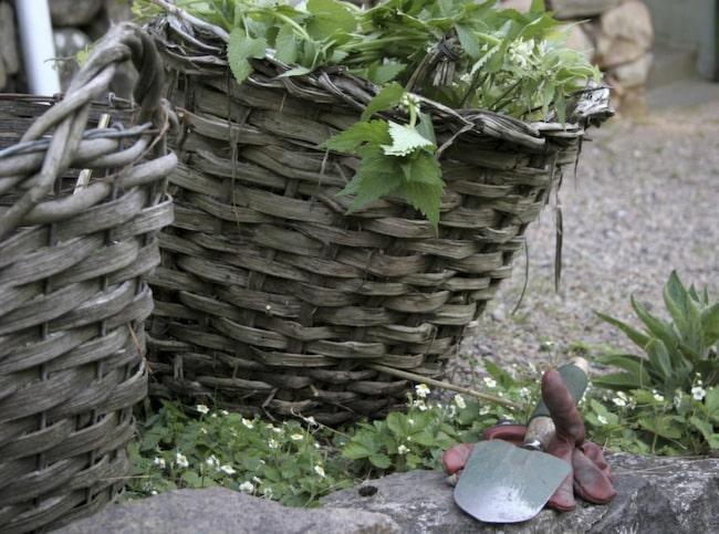 Rensa ogräs på hösten så slipper du hålla på med det få våren när det finns så mycket annat att göra.