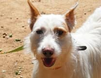 Perla, född 2009, mankhöjd 55 cm En charmig tjej som gärna visar upp sig. Går bra ihop med både hundar och människor och älskar att åka bil.
