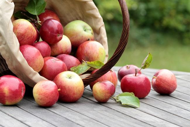 Monica nådde inte upp till de finaste och största äpplena i trädet. Då kom hon på den lysande idén med egengjorda äppelplockaren...
