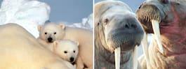 Isbjörnen ett problem för miljörörelsen  – tar fokus från mindre söta djur i Arktis