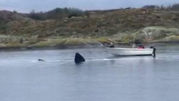Hajen fastnade inne i viken utanför Göteborg
