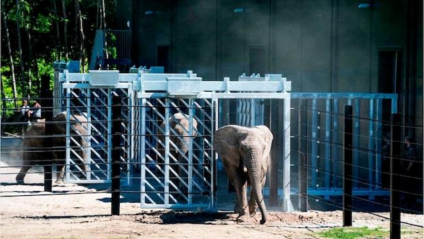 Cirkuselefanternas lycka – här släpps de äntligen ut