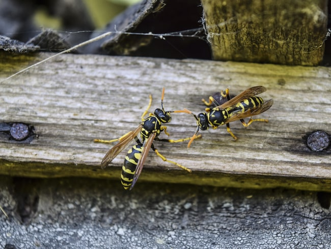 Visste du att getingar och bin är Sveriges farligaste insekter?