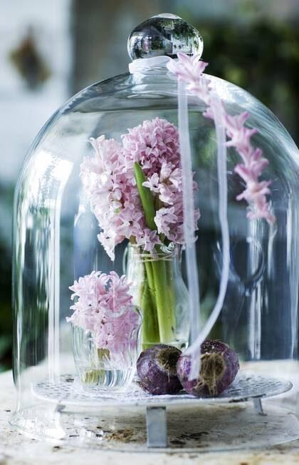 Rosa hyacinter. Sätt hyacinterna i små vaser med vatten och samla dem under glasklockan. Några violetta hyacintlökar bredvid och häng på en ranka med hyacintblommor.