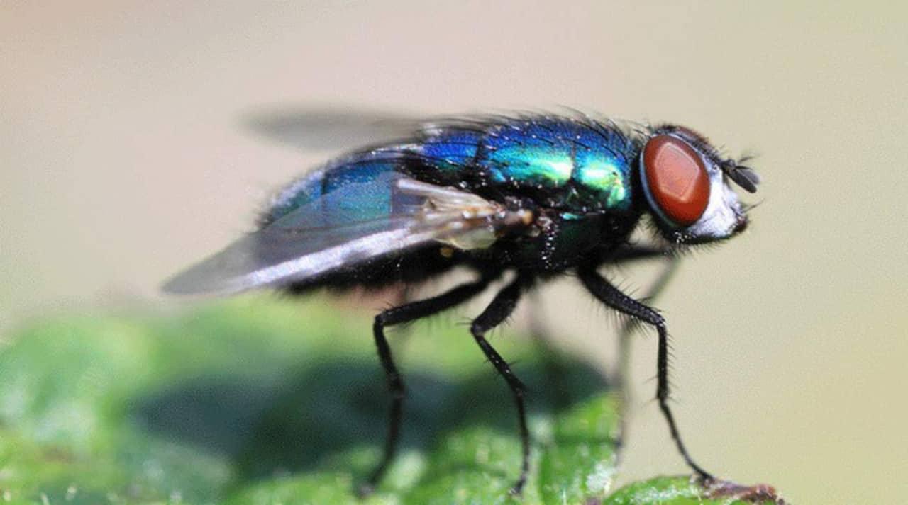 få bort flugor
