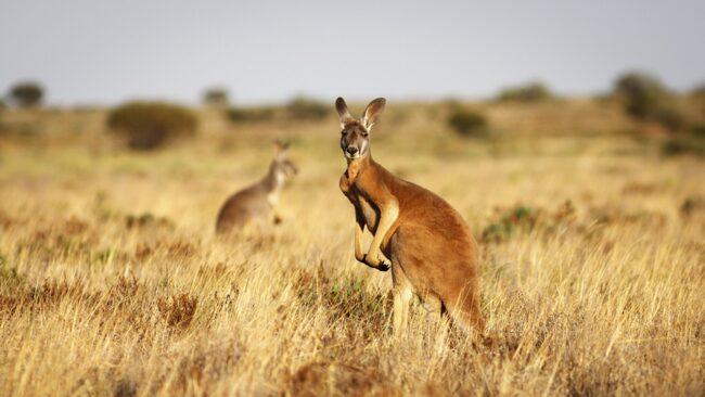 Vill du se en vild, livs levande känguru? Då har du kommit rätt, i Australien finns det miljoner och åter miljoner av dem.