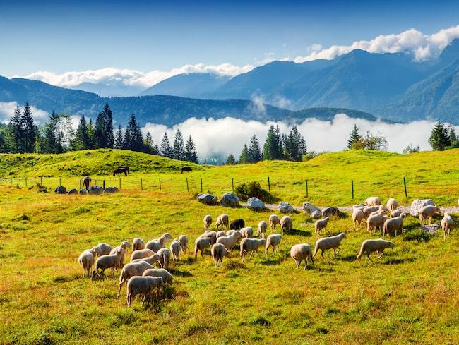 Triglav är inte bara Sloveniens enda nationalpark utan även en av Europas äldsta, med en skyddsstatus sedan 1924.