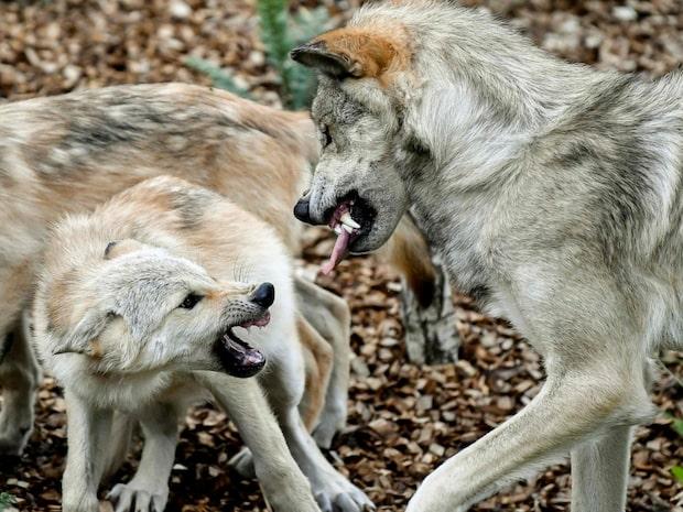 Så ska du agera om du möter en varg