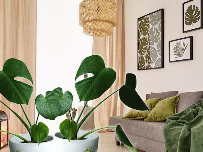 grön växt monstera