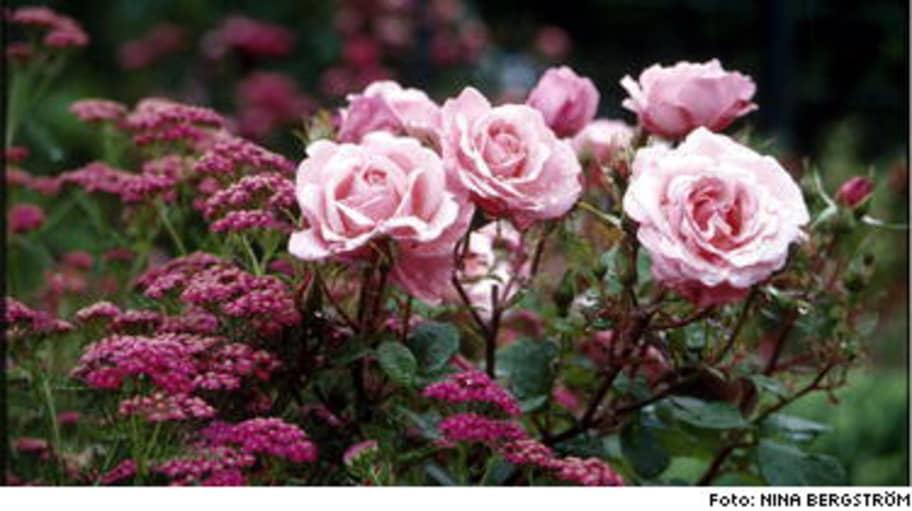 Hitta en ros attälska! Leva& bo