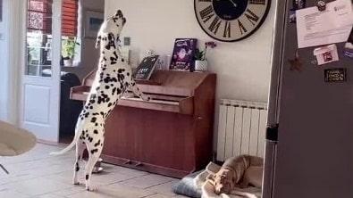 Här spelar hunden piano och sjunger – smygfilmas