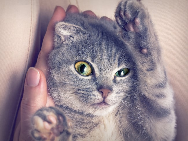Catfest är en ny kattfestival som hålls i London i juli 2018.